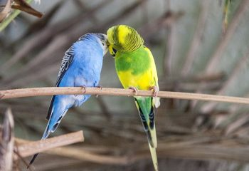 budgie-mating