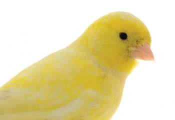 canary-2 img
